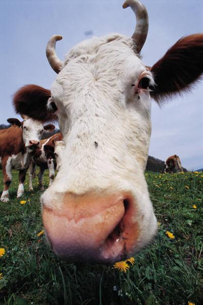Cloud for Cows – Apps Farmers Use